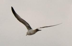 Slenderwing gull